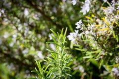 Nova Zelândia Rosemary Bush Imagens de Stock Royalty Free