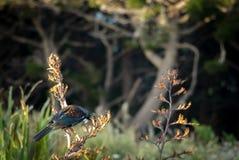 Nova Zelândia Tui Feeding On Flax Plant fotografia de stock