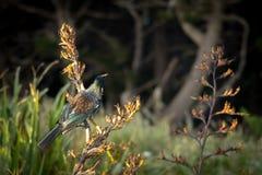 Nova Zelândia Tui On Flax Plant fotografia de stock royalty free