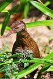 Nova Zelândia Weka Foto de Stock