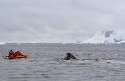 Novaeangliae d'un Megaptera de baleine de bosse alimentant devant des kayakers, Antarctique image libre de droits