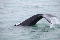 Novaeangliae del Megaptera de la ballena jorobada vistos del barco cerca fotos de archivo libres de regalías