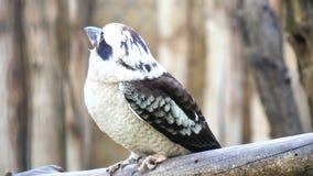 Novaeguineae del Dacelo, kookaburra de risa (4K) metrajes