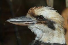 novaeguineae kookaburra dacelo смеясь над Стоковые Изображения