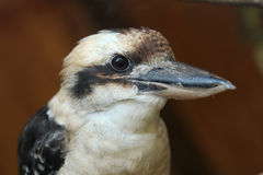 novaeguineae kookaburra dacelo смеясь над Стоковые Изображения RF