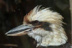 novaeguineae kookaburra dacelo смеясь над Стоковые Фото