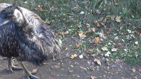 Novaehollandiae ΟΝΕ Dromaius Ένα μεγάλο αυστραλιανό flightless πουλί απόθεμα βίντεο