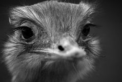 Novaehollandiae de Dromaius d'émeu Photo libre de droits