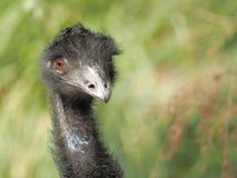 Novaehollandiae de Dromaius d'émeu tenant le regard et regardant très mignons au côté Photo libre de droits
