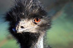 Novaehollandiae de Dromaius de fin d'oiseau d'émeu Photos libres de droits