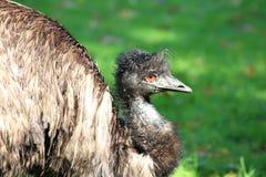Novaehollandiae del Dromaius dell'uccello dell'emù Immagine Stock