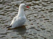 Novaehollandiae do Larus (gaivota ou gaivota de prata) Imagens de Stock