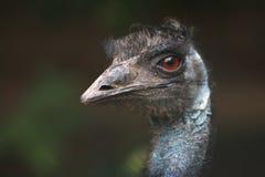 novaehollandiae emu dromaius Стоковое Изображение RF
