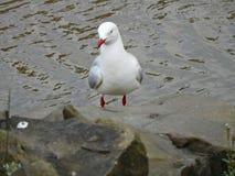 Novaehollandiae Larus (ασημένιο γλάρος ή Seagull) Στοκ φωτογραφία με δικαίωμα ελεύθερης χρήσης