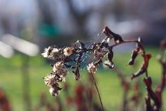 Novas-Angliae de Symphyotrichum Photographie stock libre de droits