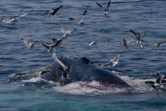 Novas de la ballena jorobada/del Megaptera foto de archivo