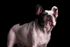 Nove anni adorabili di condizione femminile del bulldog francese Fotografie Stock Libere da Diritti
