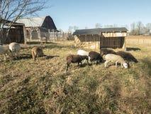 Nove carneiros da ovelha de Katahdin que pastam na pena fotos de stock