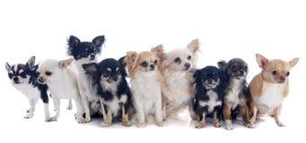 Nove chihuahuas Imagem de Stock