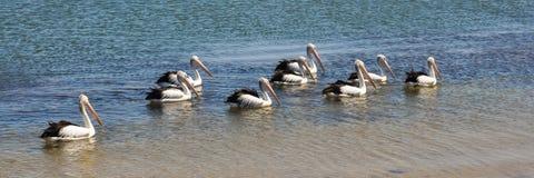 Nove pelicanos australianos Foto de Stock Royalty Free