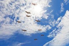 Nove pelicanos che volano in cielo nuvoloso blu Fotografie Stock Libere da Diritti