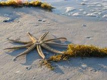 Nove starfish do braço na praia Fotografia de Stock Royalty Free