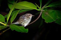 Noveboracensis septentrional de Waterthrush - de Parkesia, curruca de nuevo mundo y uno de los pájaros cantantes migratorios de N imagen de archivo