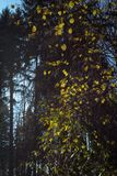 november autumn fir forest stock photos