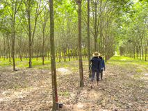 November 2017 - Chachoengsao, Thailand - Grove von den Gummibäumen, die geerntet werden lizenzfreie stockfotos