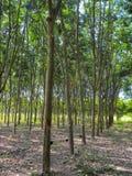 November 2017 - Chachoengsao, Thailand - Grove von den Gummibäumen, die geerntet werden lizenzfreie stockfotografie