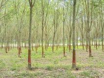 November 2017 - Chachoengsao, Thailand - Grove von den Gummibäumen, die geerntet werden lizenzfreies stockfoto