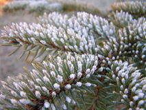 November frost. First heavy frost of the year on a small pine tree in my back yard stock image