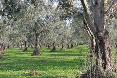 Olive trees and gardens royalty free stock images