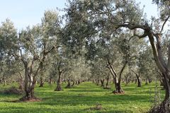 Olive trees and gardens. November harvest in olive gardens at canakkale deer Royalty Free Stock Photos