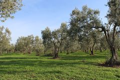 Olive trees and gardens. November harvest in olive gardens at canakkale deer Royalty Free Stock Photography