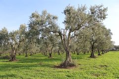 Olive trees and gardens. November harvest in olive gardens at canakkale deer Royalty Free Stock Photo