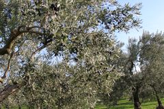 Olive trees and gardens. November harvest in olive gardens at canakkale deer Stock Photos