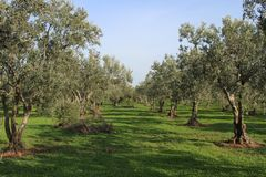Olive tree and garden royalty free stock photo
