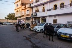7. November 2014: Kühe, die um Udaipur, Indien durchstreifen Stockbild
