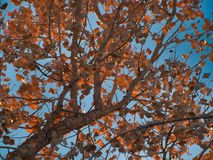 November Leaves in the Sun. Cottonwood tree against blue sky. Horsethief Canyon State Wildlife Area in western Colorado has views, migratory birds, and diverse stock photos