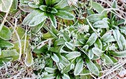 November morgonfrost på växter Royaltyfri Foto