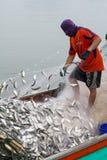 NOVEMBER 5,2016: På fiskarefartyget fånga som är många fisk på munnen av den Bangpakong floden i Chachengsao landskapöst av Thail Royaltyfri Foto
