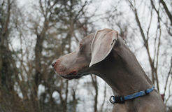 November Weimaraner. Profile of weimaraner against bare trees of November Royalty Free Stock Photography