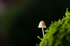 November white Forrest Mushroom on moss Stock Photo