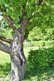 Novgorod kan de oude knoestige boom van 2018 in het park royalty-vrije stock foto