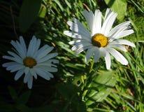 Novi-belgii «λευκές κυρίες» αστέρων (μαργαρίτα «λευκές κυρίες» Michaelmas) Στοκ φωτογραφίες με δικαίωμα ελεύθερης χρήσης