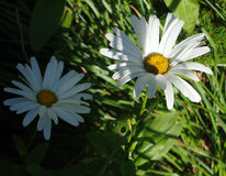 Novi-belgii 'dames blanches' d'aster (marguerite de Michaelmas 'dames blanches') Photos libres de droits