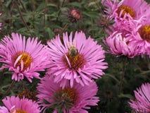 Novi-belgii de Symphyotrichum o aster y abeja de Virginia Imágenes de archivo libres de regalías