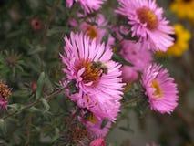Novi-belgii de Symphyotrichum o aster y abeja de Virginia Fotografía de archivo libre de regalías