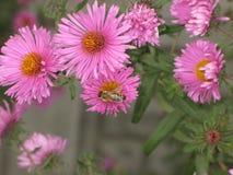 Novi-belgii de Symphyotrichum o aster y abeja de Virginia Fotos de archivo